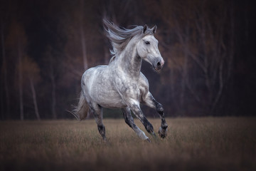 Purebred Arabian stallion running gallop
