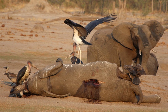 A marabou stork stands on an elephant carcass at a watering hole inside Hwange National Park