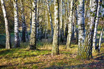 Fotobehang Birch forest in autumn on a sunny day