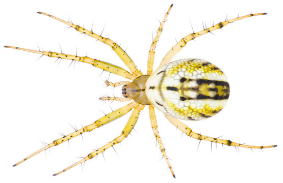 The Mangora acalypha a species of spider in the family Araneidae spiders. Orb-weaver spider isolated on white background.