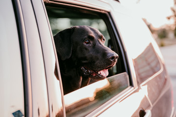 beautiful black labrador in a car ready to travel. City background. Watching by the window at sunset. Travel concept