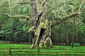 Lech polish nature monument, around seven hundred years oak tree with silky rain drops.