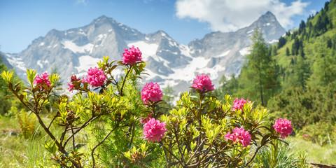 Fototapete - Alpenrosen in den Zillertaler Alpen mit Gletscher im Hintergrund als Panorama