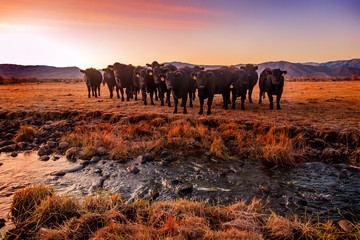 Spoed Foto op Canvas Koe A herd of black cows by a stream through a field in rural Utah, USA.