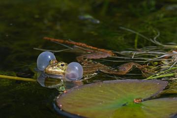 Printed kitchen splashbacks Frog Kleiner Wasserfrosch (Pelophylax lessonae) - Pool frog