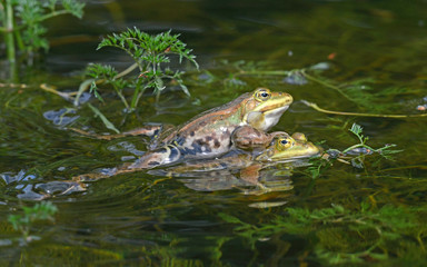 Wall Murals Frog Kleiner Wasserfrosch (Pelophylax lessonae) - Pool frog