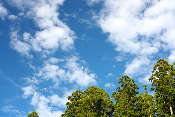 Nipponia nippon or Japanese Crested Ibis or Toki, once extinct animal from Japan, flying on blue sky in Sado island