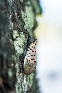 Spotted lanternfly (Lycorma delicatula). Invasive species in Pennsylvania