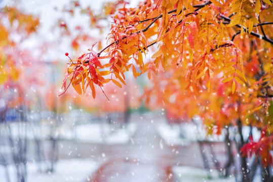 Autumn colorful landscape. Branches of  rowan tree with red leaves in  snowy park.