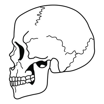 Human skull in profile. Black and white linear silhouette. Isolated vector illustration.