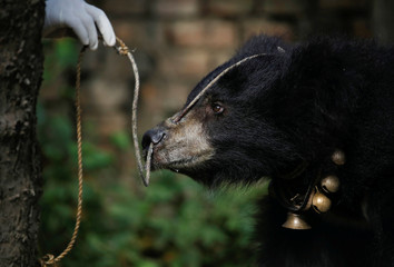 A rope is tied through the pierced nose of a sloth bear, that was forced to perform on the streets at Siraha District and was rescued by nonprofit organisation Sneha's Care, is seen in Lalitpur