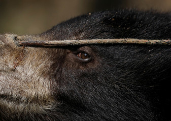 A rope is tied through the pierced nose of a sloth bear that was forced to perform on the streets at Siraha District is pictured after being rescued in Lalitpur