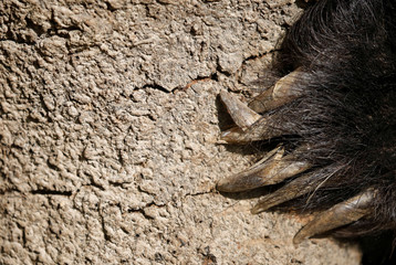 Claws of a sloth bear that was forced to perform on the streets at Siraha District and was rescued by nonprofit organisation Sneha's Care are pictured in Lalitpur
