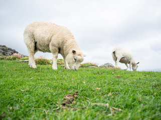 Sheep eating grass in a mountain
