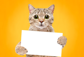Portrait of a cat Scottish Straight with a banner in paws on a orange background