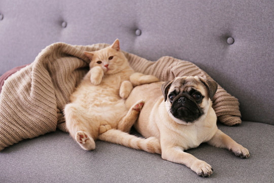 Cute red Scottish fold cat & funny pug lying on grey textile sofa at home. Purebred short hair straight-eared kitty and lop-eared dog with sleepy sad face. Background, copy space, close up.