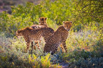 Three cheetahs in the Etosha National Park Wall mural