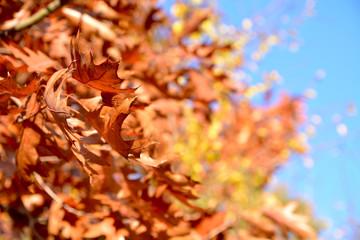 liście dębu czerwonego jesienią