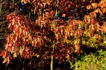 Obraz dąb czerwony jesienią - fototapety do salonu
