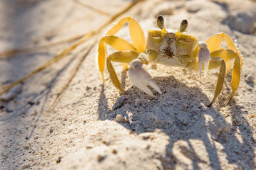 Crab - ghost - small crustacean with chitinous shell