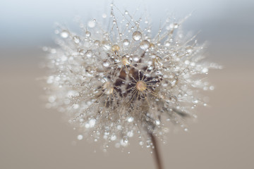 Fototapeta Round fluffy dandelion in water drops and bokeh on a delicate blue background