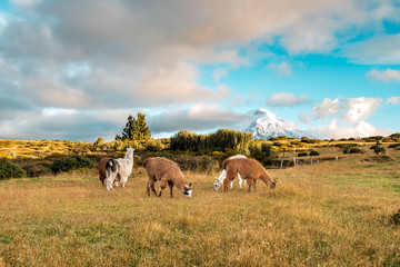 Lamas and Alpakas standing in grasslands of the Cotopaxi National Park, behind them the Cotopaxi volcano with snowy peak, idyllic setting of Ecuador, South America Fotoväggar