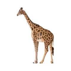 Giraffe vector image isolated on white background.