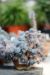 Fotomurales - Succulents in pot on table.