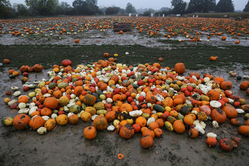 Pumpkins sit on a field after being picked at the Colchester Pumpkin Patch in Aldham