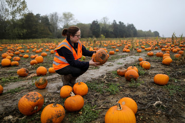 Emily French inspects a pumpkin at the Colchester Pumpkin Patch in Aldham