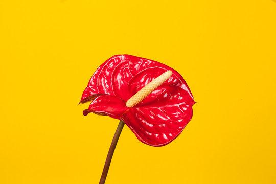 single red Anthurium exotic flower over yellow studio background. Minimal bright design.