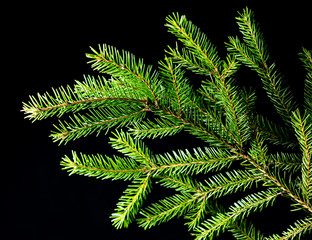 Green needles on a Christmas tree branch