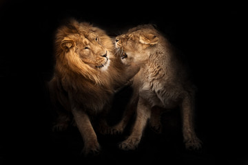 love of lions. Lion male and lioness female conflict  the lioness snarls, a symbol of family relations and conflicts.  heads, isolated black background