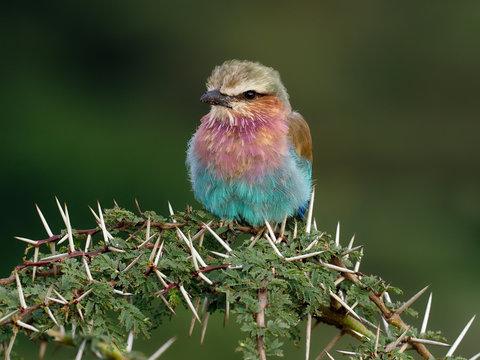 Lilac-breasted roller, Coracias caudata,