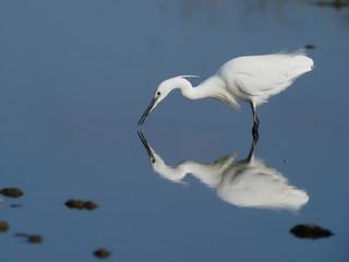 Fotoväggar - Little egret, Egretta garzetta