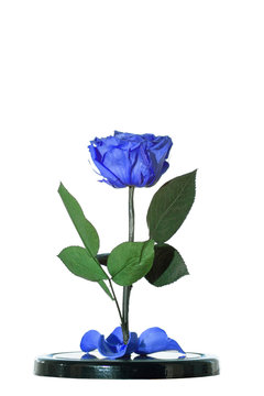 Enchanted blue rose on white background. Beauty and the Beast Rose. Preserved rose, preserved flower