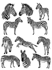 Graphical set of zebras isolated on white background,vector illustration for tattoo and art
