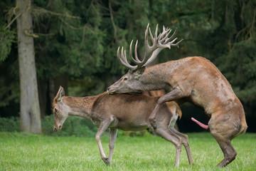 Poster de jardin Cerf copulating red deer on the forest glade