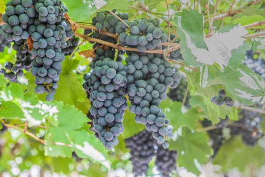 From below of dark juicy grapes hanging in green foliage in vineyard