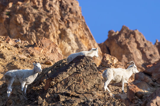 Dall Sheep Ewes on a Talus Slope in Alaska in Autumn