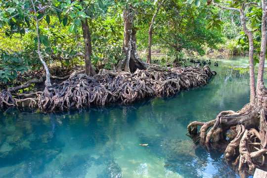 Beautifully intertwined roots of mangrove trees leaving in turquoise water. Mangroves on the banks of the river in sunny weather.
