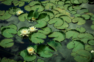 Foto op Aluminium Waterlelies Lotus Flowers quietly floating in a pond. Relaxing nature.