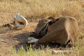 Elephant Remains
