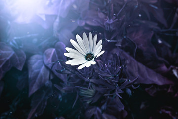A white daisy in a vivid indigo purple mystical background.