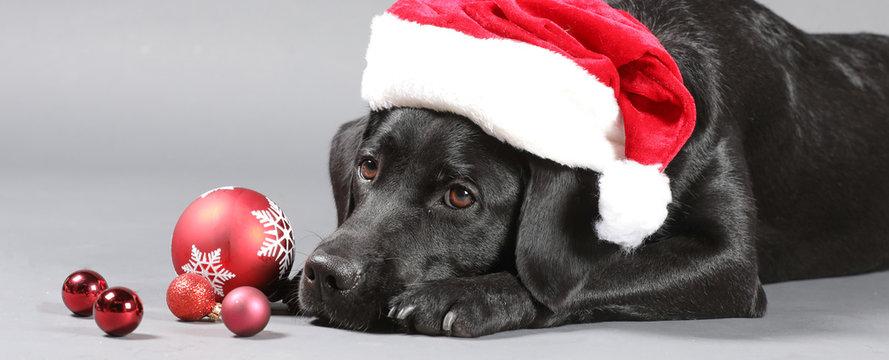 Labrador mit Weihnachtsmütze