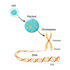 From Gene to DNA and Chromosome in cell structure. genome sequence.