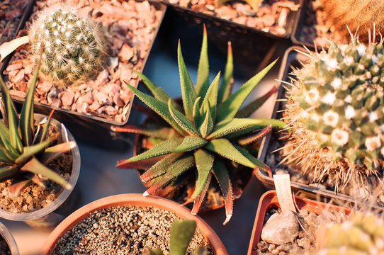 Succulents,echeveria kalanchoe succulent house plants.Aloe ostifolia is succulent herbaceous plant,species of the Aloe genus of the Asphodelaceae family.The concept of houseplant for decoration.