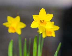 Papiers peints Narcisse Jonquille jaune