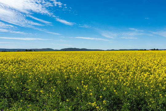 Yellow rapeseed field in Bellevue, Idaho, USA