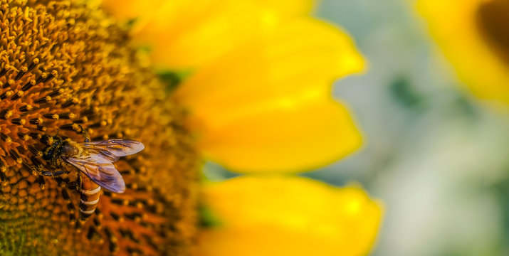 Colorful macro view of honeybee bee pollinating sunflower seeds with blue cloudy sky, honey collection process
